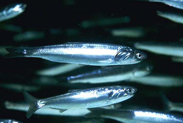 Swimming Northern Anchovies