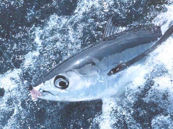 Albacore tuna off the coast of Venezuela.