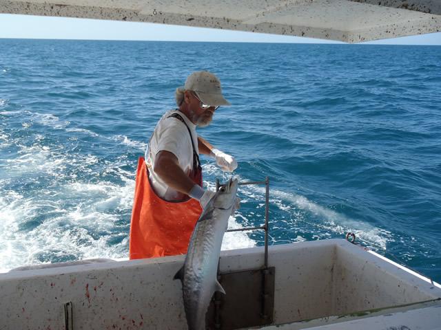 A fisherman dehooks a king mackerel.