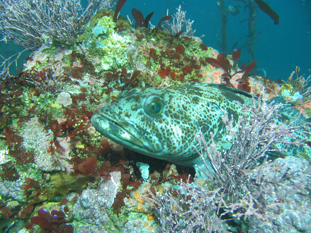 Lingcod hiding motionless on a reef in California Point Lobos State Reserve.