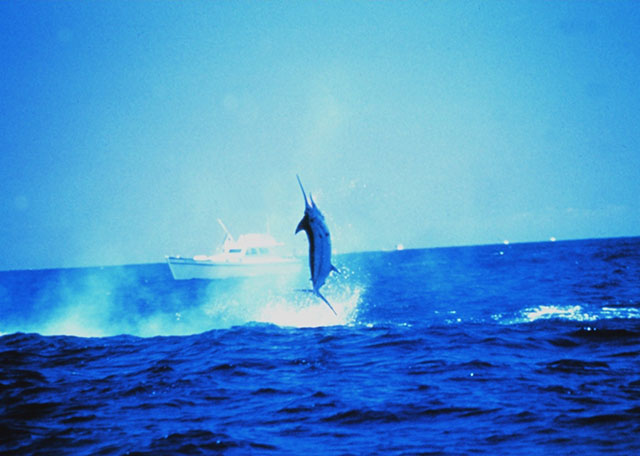 Large blue marlin jumping, as seen from a charter vessel.
