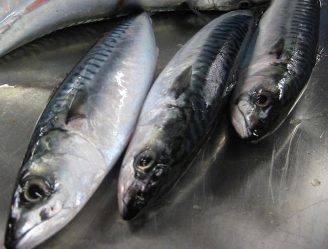 Atlantic mackerel.