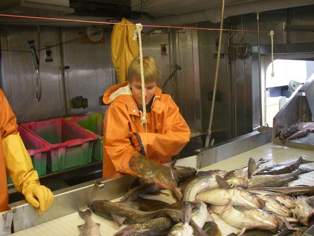 Researcher separating arrowtooth flounder from Alaska pollock during a trawl survey of the Gulf of Alaska.