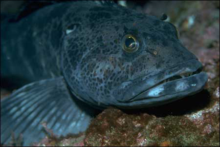 Male lingcod guard fertilized eggs nestled in rocky outcrops in Cordell Bank National Marine Sanctuary.