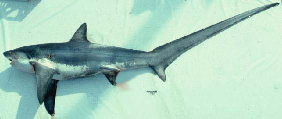 A photo of an Atlantic Common Thresher shark that was caught.