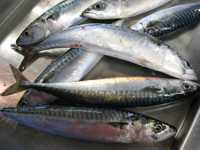 Atlantic mackerel collected by researchers during a bottom trawl survey. NOAA's Northeast Fisheries Science Center conducts these surveys to provide information on the abundance, biology, and distribution of the marine resources in the Northwest Atlantic.