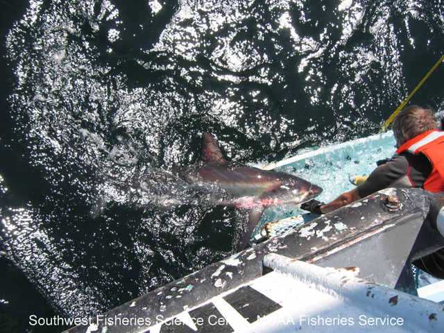 Leading an adult common thresher shark into the shark cradle during the Southwest Fisheries Science Center's 2006 Juvenile Shark Survey off of the Channel