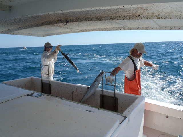Putting mackerel catch into the cooler.