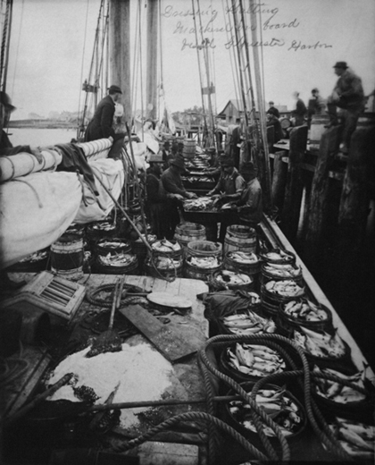 Historic photograph of fishermen dressing and salting mackerel onboard a vessel in Gloucester Harbor, Massachusetts.