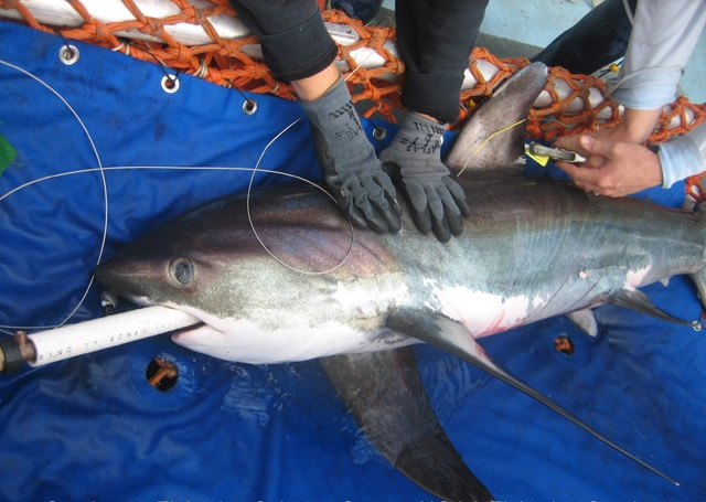 A photo of an adult common thresher shark being tagged during the 2009 Juvenile Shark Survey off of the Channel Islands.