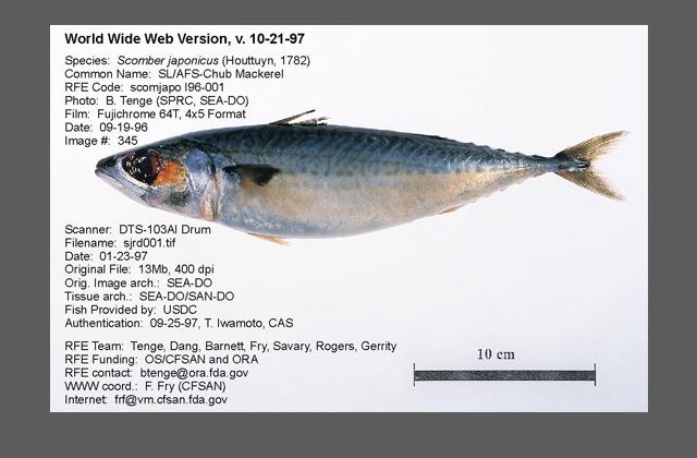 Whole Pacific mackerel.
