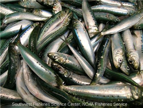 Adult Pacific sardines caught during NOAA Southwest Fisheries Science Center's 2006 survey. These sardines were measured and weighed. Scientists also determined their reproductive status and collected otoliths (ear bones) for ageing studies.