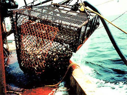 Harvesting ocean quahogs.