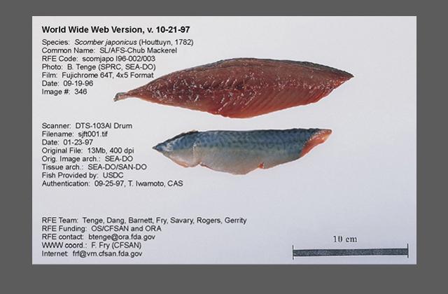 Pacific mackerel fillets.