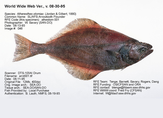 Whole arrowtooth flounder. Photo credit: U.S. Food and Drug Administration.