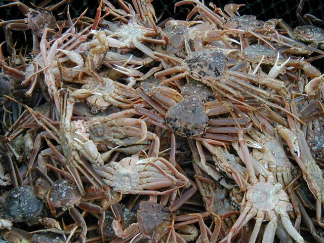 Only male crabs can legally be caught for commercial use. Commercial size males are usually older than 8 years and weigh between 1 and 2 pounds. (Photo credit: Forrest Bowers, Alaska Department of Fish and Game)