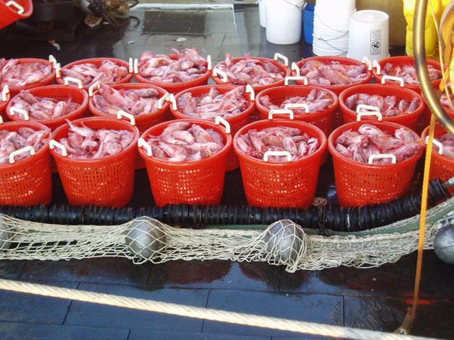 Baskets of redfish for sampling during a trawl survey.