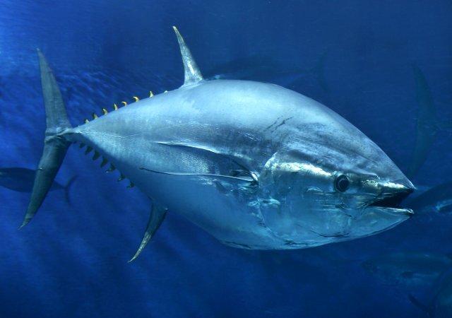 A close-up of a Pacific Bluefin Tuna.