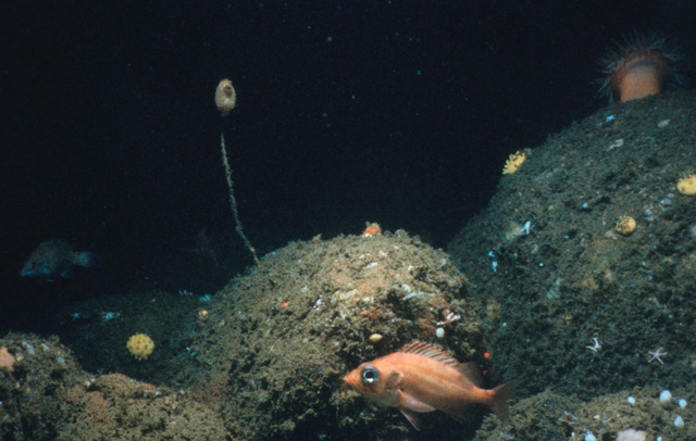 Acadian redfish are found in deep boulder reefs and among anemone forests in the muddy basins of Stellwagen Bank National Marine Sanctuary. (Photo credit: National Undersea Research Center, University of Connecticut)