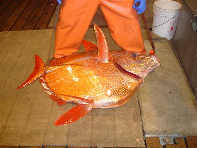 A photograph of an opah on the deck of a fishing boat.