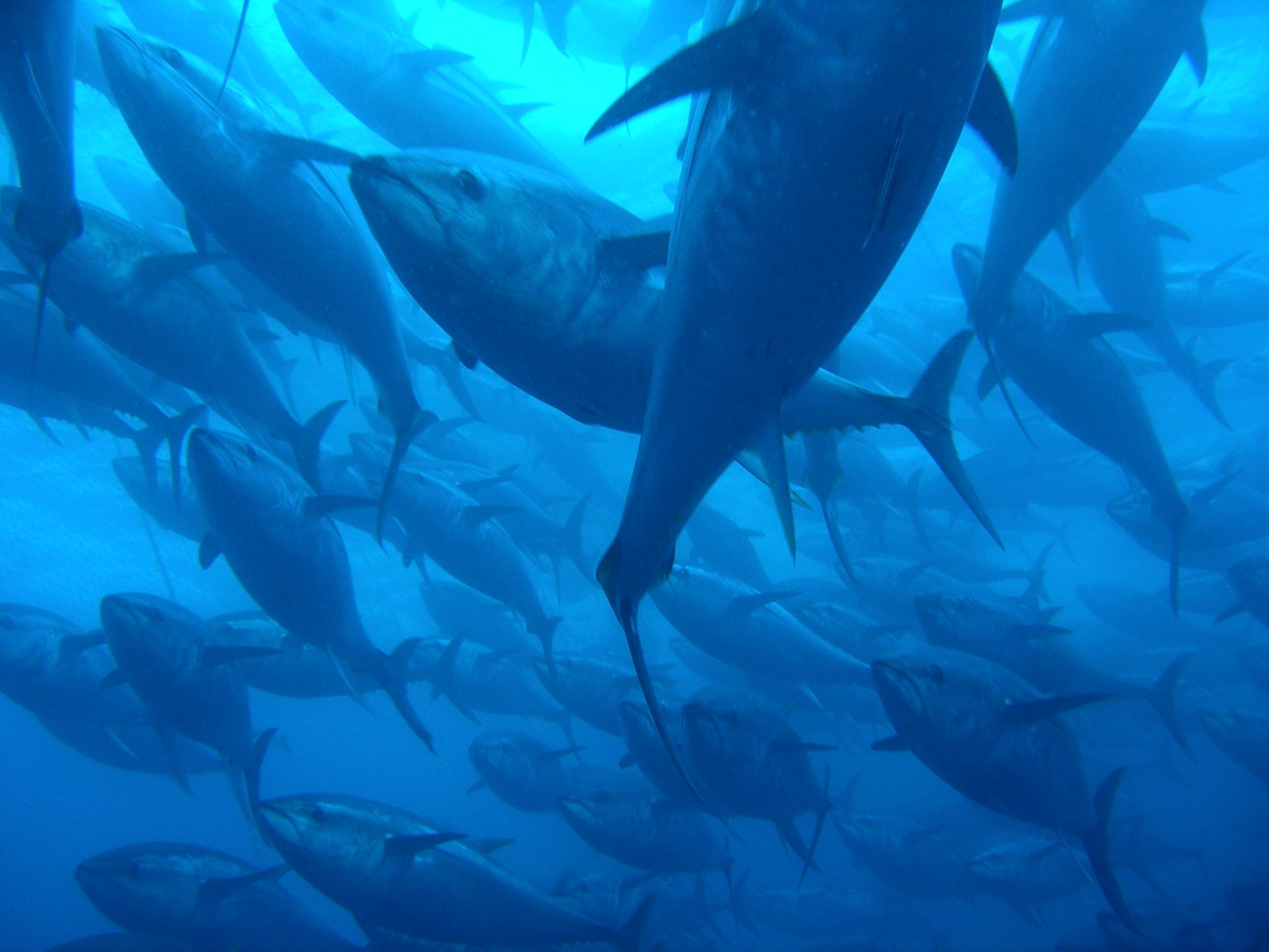 A school of bluefin tuna