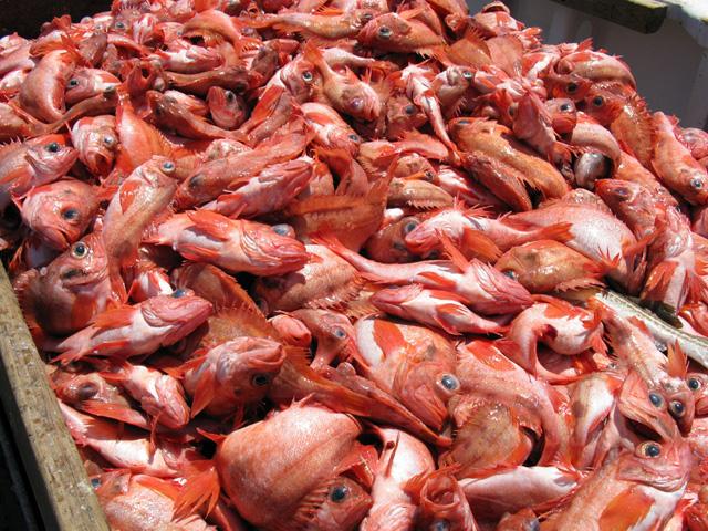 Catch of Acadian redfish.