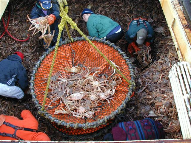 Bering Sea snow crab being off-loaded for processing in Dutch Harbor, Alaska. (Photo credit: Forrest Bowers, Alaska Department of Fish and Game)