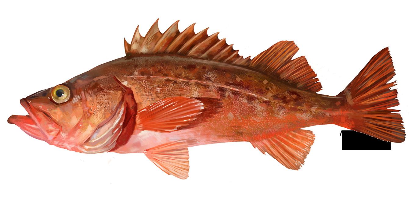 Illustration of a Bocaccio rockfish.