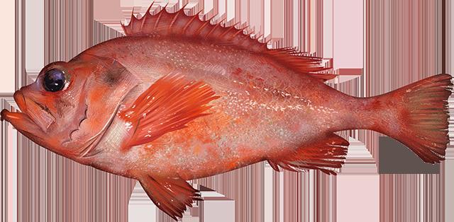 Illustration of an Acadian Redfish