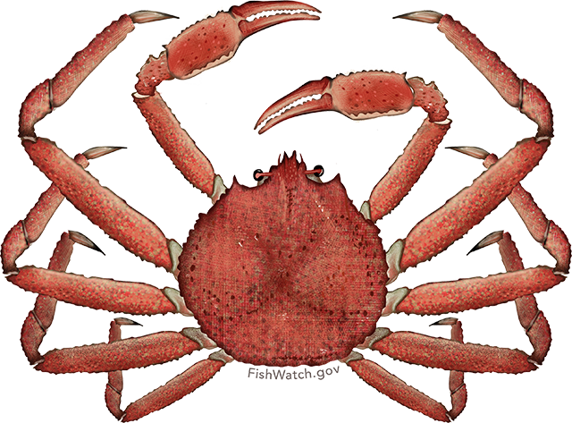 Illustration of an Alaska Snow Crab