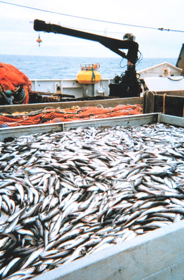 Pollock caught during a groundfish survey aboard the NOAA research vessel, Miller Freeman. Scientific research cruises often collect fish to learn more about the fishery. Many pollock in this large load of fish may be measured to determine the range of si