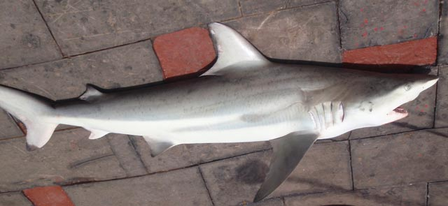 Blacktip shark caught for research purposes photo