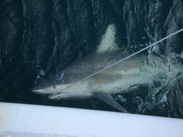 Blacktip shark in the water photo