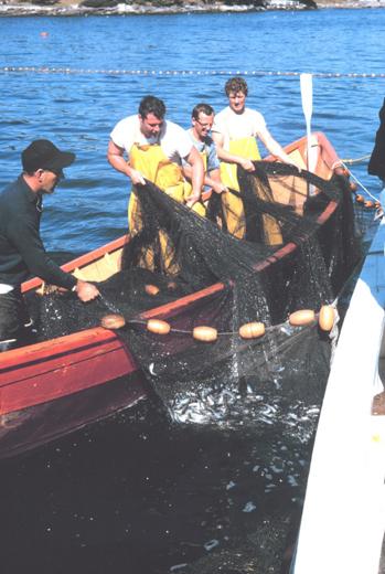 Harvesting herring photo