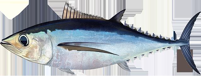 Illustration of a North Atlantic Albacore Tuna