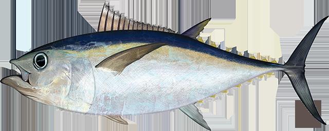 Atlantic bigeye tuna