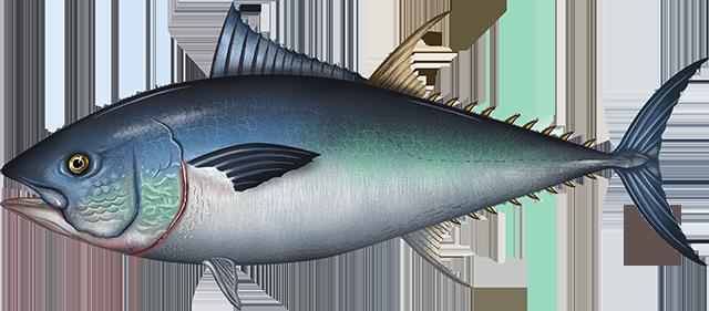 Illustration of a Pacific Bluefin Tuna