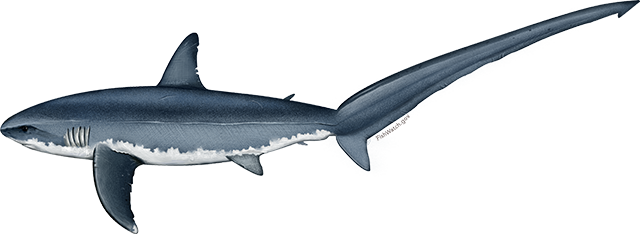 Illustration of a Pacific Common Thresher Shark