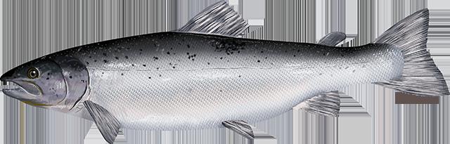 Illustration of an Atlantic Salmon.