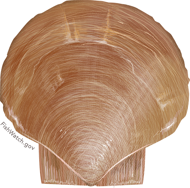 Illustration of an Atlantic Sea Scallop