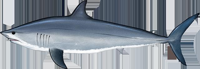 Illustration of a Pacific Shortfin Mako Shark