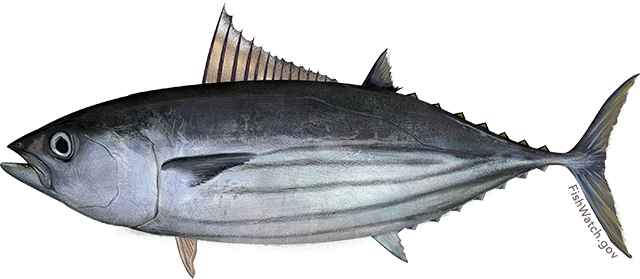Illustration of a Pacific Skipjack Tuna