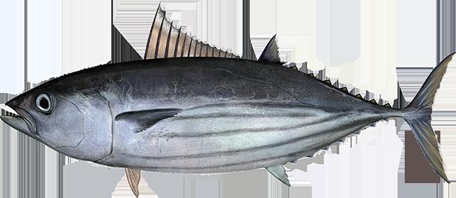 Illustration of a Pacific Skipjack Tuna
