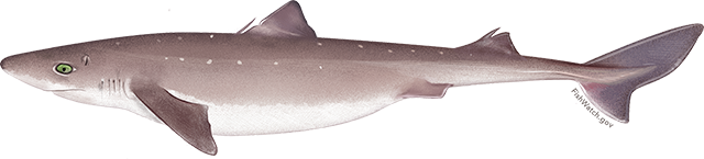 Illustration of a Pacific Spiny Dogfish.