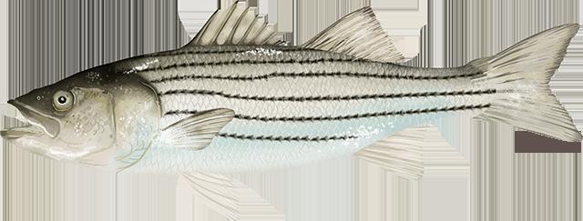 Illustration of an Atlantic Striped Bass