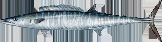 Illustration of an Atlantic Wahoo