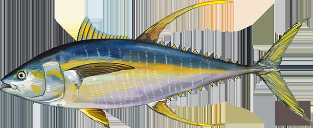 Atlantic Yellowfin Tuna illustration