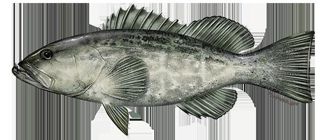 black grouper illustration