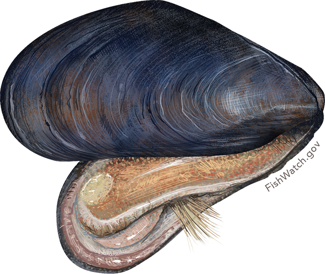 Illustration of a Blue Mussel