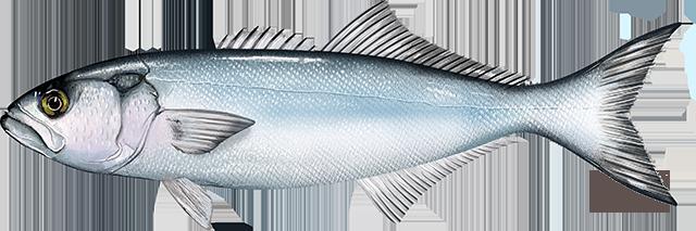 Illustration of a Bluefish